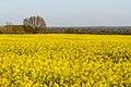 A sea of yellow rapeseed flowers.jpg