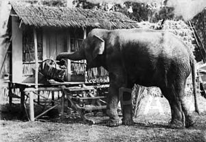 Colin Campbell (director) - An elephant picks up a basket with its trunk. Set photograph from the film A Wise Old Elephant directed by Colin Campbell (1913), Margaret Herrick Library.