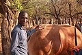A young Motswana Farmer brushing a bull at his farm 1.jpg