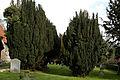 Abbess Roding - St Edmund's Church - Essex England - south churchyard yew trees 01.jpg