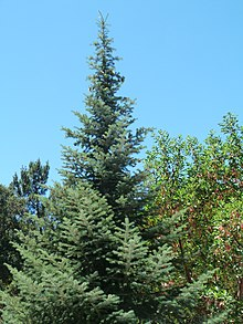 Abies bracteata 04 Bottcher's Gap.jpg