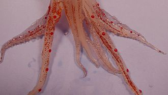 Muscular hydrostat - Arms and tentacles of the squid Abralia veranyi