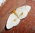 Abraxas (Calospilos) pantaria. Ennominae. Abraxini. Abraxas. Geometridae (6672437037).jpg