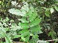 Acacia Caesia - ഇഞ്ചയില.JPG