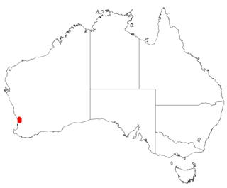 <i>Acacia anomala</i> species of plant