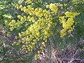 Acacia dealbata, blomknoppe, Waterberg.jpg