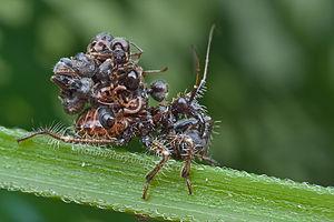 Acanthaspis petax - Image: Acanthaspis petax nymph