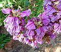 Acanthus pubescens, bloeiwyse, Jan Celliers Park, b.jpg