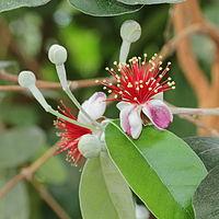 A. sellowiana, feijoa