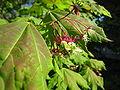 Acer circinatum flowers Ketchikan.jpg