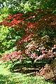 Acer japonicum 'Aconitifolium' JPG1.jpg