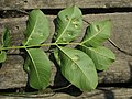 Aceria erinea (Eriophyidae) - (gall), Elst (Gld), the Netherlands - 2.jpg