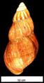 Achatina fulica shell 4.png