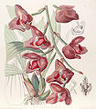 Acineta superba (as Peristeria humboldtii) - Edwards vol 29 (NS 6) pl 18 (1843).jpg