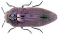Acmaeodera excellens Klug, 1855.png