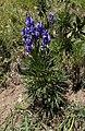 Aconitum napellus plant (18).jpg