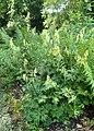Aconitum napellus subsp. vulgare kz05.jpg