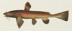Stream catfish - Acrochordonichthys rugosus