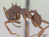 Acromyrmex subterraneus casent0173804 profile 1.jpg