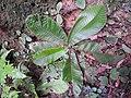 Acrotrema agastyamalanum-3-chemungi hill-kerala-India.jpg