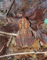 Adirondacks - American Toad - 01.JPG