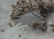 Adult male hogfish.jpg