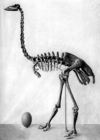 Elephant bird - Aepyornis maximus skeleton and egg