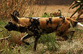 African Hunting Dog (3846620713).jpg