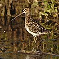 African Snipe, Gallinago nigripennis at Marievale Nature Reserve, Gauteng,South Africa (45449908792).jpg