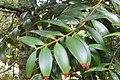 Agathis . kinabaluensis de Laub. (AM AK360201-2).jpg