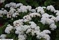 Ageratum houstonianum Cloud Nine White 2zz.jpg
