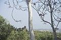 Ailanthus altissima-2682.jpg