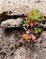 Alaska saxifrage turning red. (5c63294c96b946d49c36bcea9e6224fc).JPG