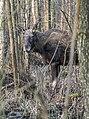 Alces alces 18(js), Biebrza National Park (Poland).jpg