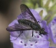Aldrichia ehrmanii P1370680a.jpg