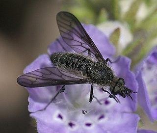 <i>Aldrichia ehrmanii</i> species of insect