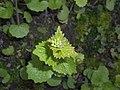 Alliaria petiolata 2017-04-20 8297.jpg