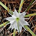 Alligator Lily (Hymenocallis palmeri) (8248700633).jpg