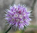 Allium maximowiczii (8929336521).jpg