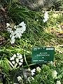 Allium zebdanense - Copenhagen Botanical Garden - DSC07482.JPG