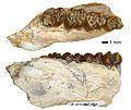 Allotypomys pictus (JODA 1049).jpg