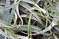 Aloe arborescens 2zz.jpg