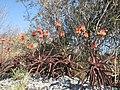 Aloe cameronii - Monte Branca 1 (10314250125).jpg