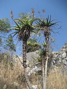 Lijst van soorten in het geslacht Aloe  Wikipedia