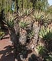Aloe mutabilis - Jardín Botánico Canario Viera y Clavijo - Gran Canaria.jpg