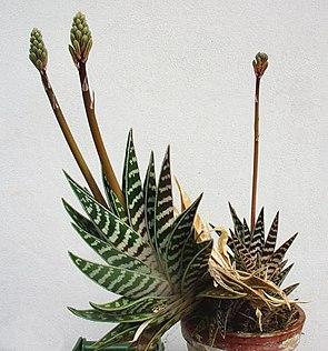 Tiger-Aloe (Aloe variegata)Habitus mit Blütenstand.