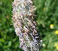 Alopecurus pratensis - Meadow Foxtail detail.JPG