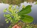 Alstonia scholaris - Scholar Tree at Thattekkadu (6).jpg