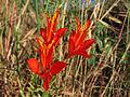 Alstroemeria ligtu ssp. simsii (2076876334).jpg