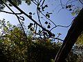 Alyo (Konkani- आळ्यो) (13057789593).jpg